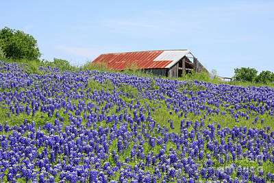 Photograph - Bluebonnet Barn 2 by Jerry Bunger