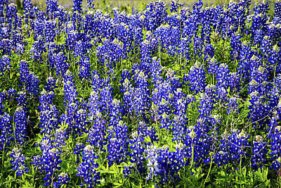 Photograph - Bluebonnet Blues by Lynn Bauer