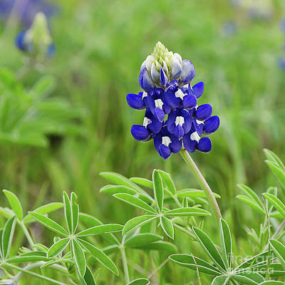 Photograph - Bluebonnet by Cathy Alba