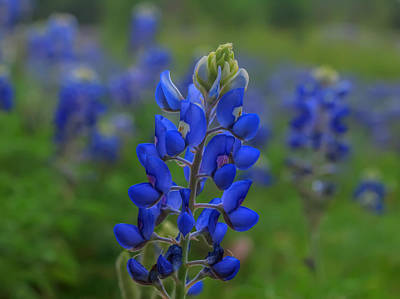 Photograph - Bluebonnet Field by Joshua House