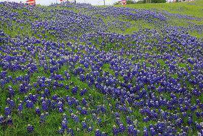 Photograph - Bluebonnet Field by Robyn Stacey