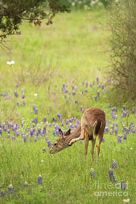 Photograph - Bluebonnet Itch by David Cutts