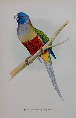 Parakeet Drawing - Bluebonnet Parrot - 1884 by Greene's Parrots