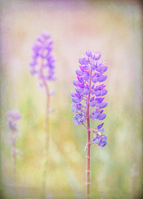 Photograph - Bluebonnet by Russell Styles