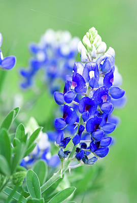 Photograph - Bluebonnets 071616 by Rospotte Photography