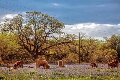 Photograph - Bluebonnets And Beef by Melinda Ledsome