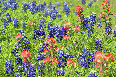 Photograph - Bluebonnets And Indian Paintbrush by Robert Camp