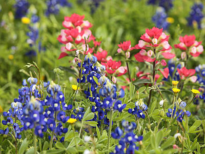 Photograph - Bluebonnets And Paintbrush by Charles McKelroy