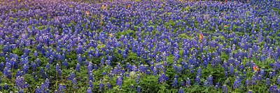 Photograph - Bluebonnets And Paintbrushes Panorama 2 - Texas by Brian Harig