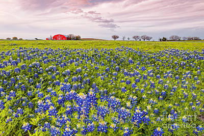 Prairie Sunset Photograph - Bluebonnets And Red Barn In Washington County - Chappell Hill - Brenham - Texas by Silvio Ligutti