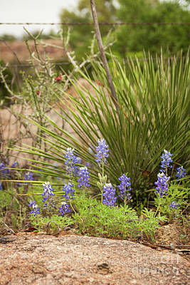 Photograph - Bluebonnets And Sotols by David Cutts