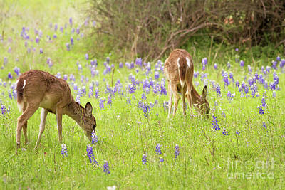 Photograph - Bluebonnets And Whitetails by David Cutts