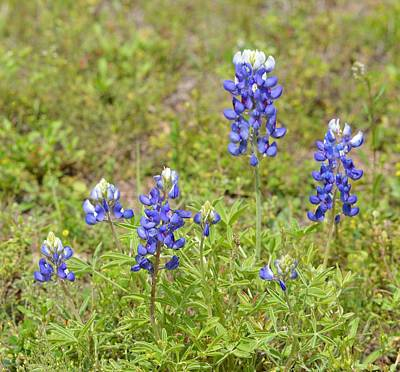 Photograph - Bluebonnets Like In Texas by rd Erickson