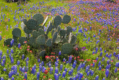 Photograph - Bluebonnets Paintbrush And A Prickly Pear - Texas Hill Country by Brian Harig