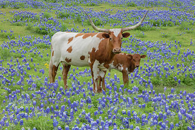 Longhorn Bluebonnet Photograph - Bluebonnets With Longhorn And Calf 1 by Rob Greebon