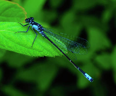 Photograph - Blueboy The Dragonfly by Tikvah's Hope
