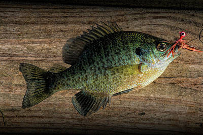 Bluegill Photograph - Bluegill Panfish Caught With A Jig by Randall Nyhof