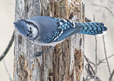 Photograph - Bluejay #1 by Wade Aiken