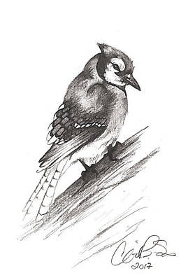 Bluejay Drawing - Bluejay by Corinne States