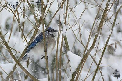 Photograph - Bluejay In Snowy Branches by Tana Reiff