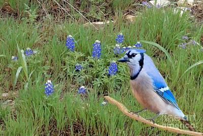 Photograph - Bluejay In The Bluebonnets by Janette Boyd