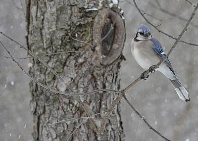 Bluejay Digital Art - Bluejay In The Snow by Terri McLellan