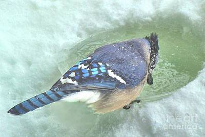 Photograph - Bluejay In Winter by Janette Boyd