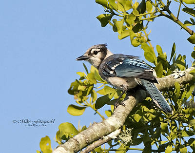 Photograph - Bluejay by Mike Fitzgerald