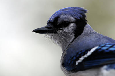 Bluejay Art Print by Mike Martin