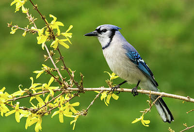 Photograph - Bluejay On Forsythia by Paul Miller