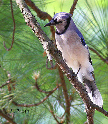 Photograph - Bluejay by Roena King