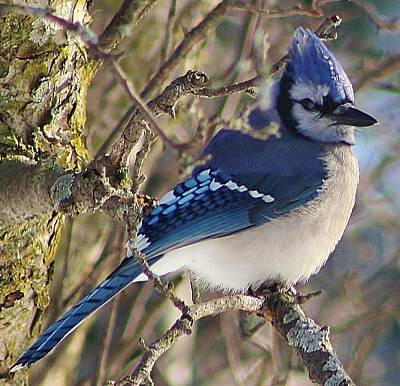 Photograph - Bluejay Watch by Bruce Bley
