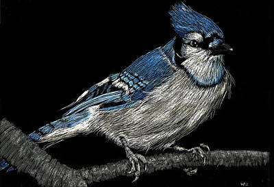 Bluejay Drawing - Bluejay by William Underwood