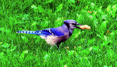 Photograph - Bluejay With A Peanut by Graham Hobster