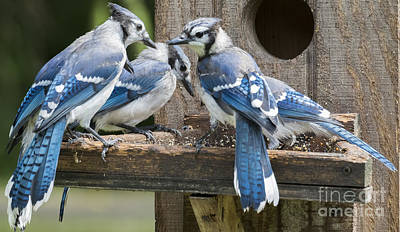 Photograph - Bluejays Party  by Ricky L Jones