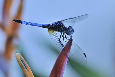 Photograph - Blue Dasher On  Flower by Bradford Martin