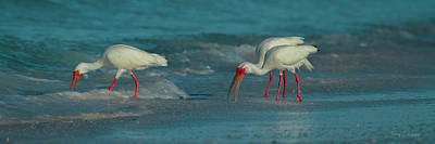 Ibis Wall Art - Photograph - Blues Trio Cortez Beach by Betsy Knapp
