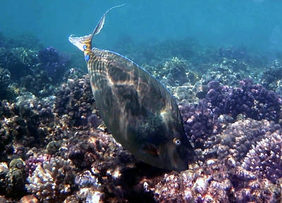 Photograph - Bluespine Unicornfish Red Sea by Johanna Hurmerinta