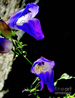 Photograph - Bluestem Beardtongue Flowers by Steven Parker