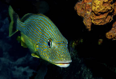 Photograph - Bluestriped Grunt by Jean Noren