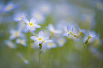 Photograph - Bluets / Innocence by Kim Carpentier
