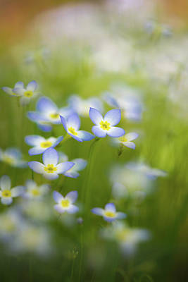 Photograph - Bluets by Kim Carpentier