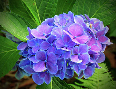 Photograph - Bluish Purple Hydrangea by Cynthia Guinn