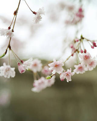 Photograph - Blush Pink Cherry Blossoms On Brown by Brooke T Ryan