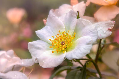 Photograph - Blush Rose by Mary Almond