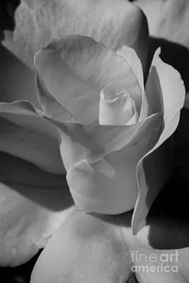 White Rose Photograph - Blush White Rose In Bw by Brian Luke