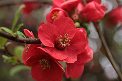 Quince Photograph - Blushing Blooms by Connie Handscomb