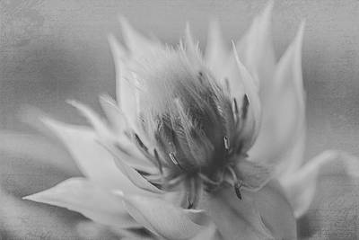 Photograph - Blushing Bride - Black And White Version by Teresa Wilson