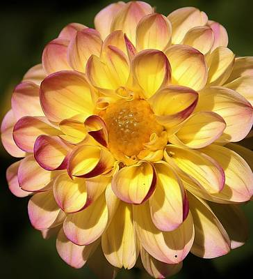 Photograph - Blushing Dahlia by Bruce Bley