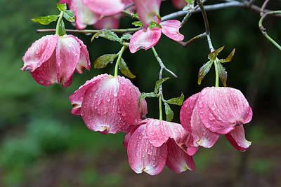 Kathleen Photograph - Blushing Dogwood Blooms by Kathleen Bishop
